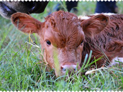 Native Cattle Co. calf