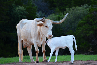 Native Cattle Company- Registered Texas Longohrns